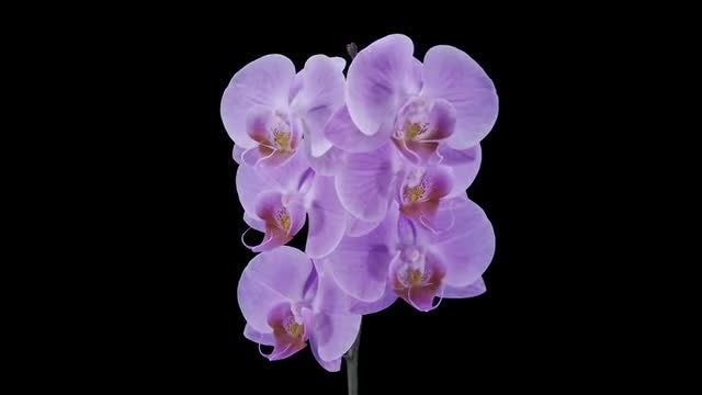 Purple Phalaenopsis Orchids Opening: Stock Video
