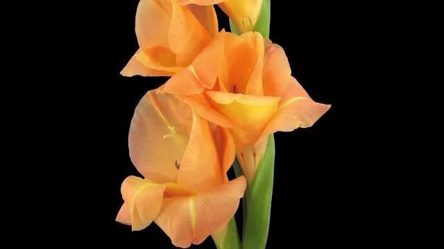 Orange Gladiolus Flowers Opening: Stock Video