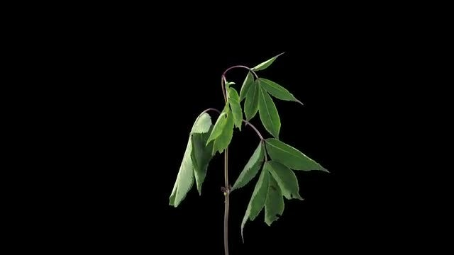 Shrub Branch And Leaves Dying: Stock Video
