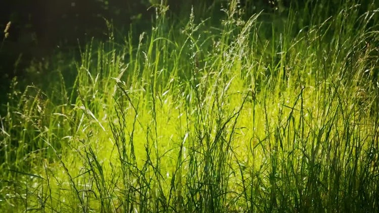 Summer Grass Blowing In The Wind: Stock Video