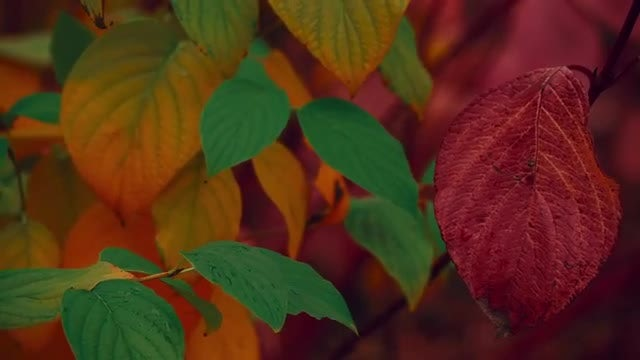 Beautiful Autumn Leaves In Wind: Stock Video