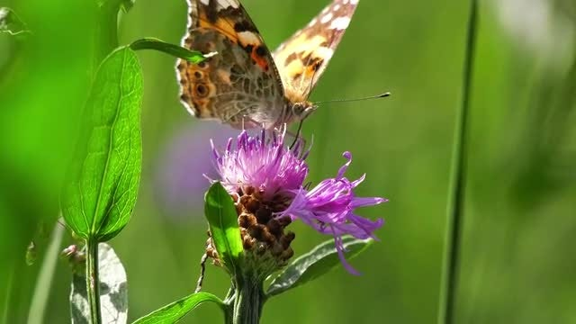 Butterfly Feeding On Black Knapweed: Stock Video