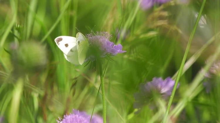 Butterfly Feeding On Nectar: Stock Video