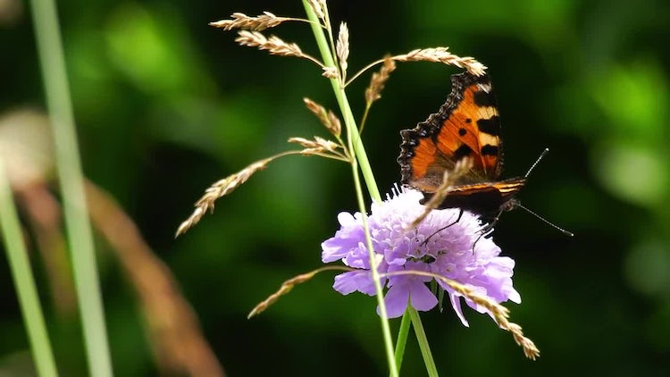 Field Scabiosa With Colorful Butterfly: Stock Video