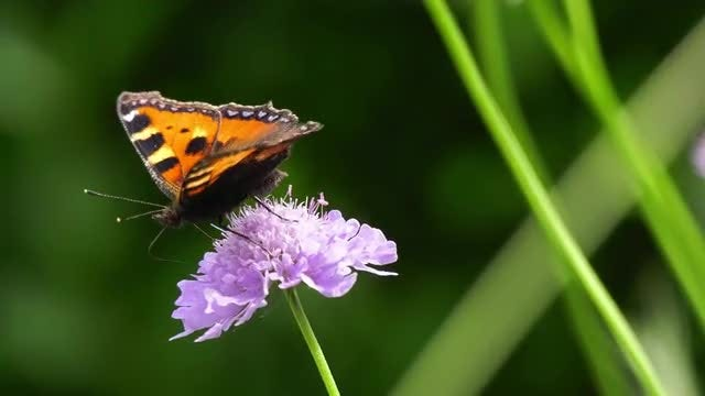 Butterfly Sucking Nectar From Scabiosa : Stock Video