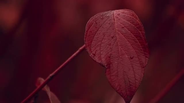 Red Leaf In Autumn: Stock Video