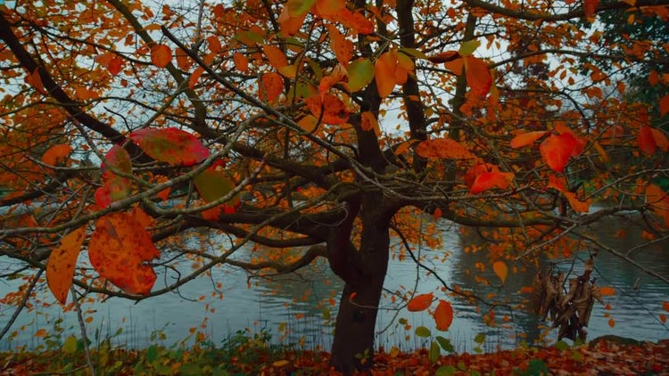 Autumn Tree With Falling Leaves: Stock Video