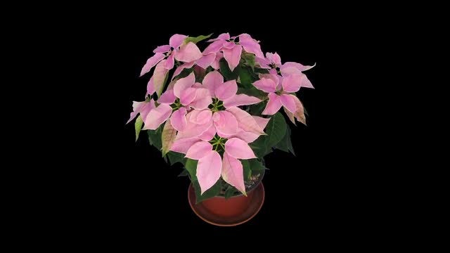 Time Lapse Of Resurrecting Poinsettia: Stock Video