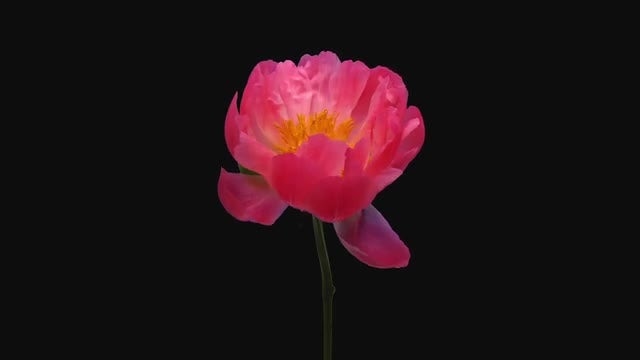 Coral Peony (Paeonia) Flower Opening: Stock Video