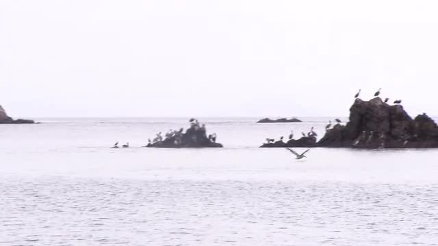 Pelican Flying To Rocks: Stock Video