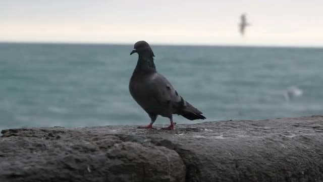 Pigeon On The Seashore: Stock Video