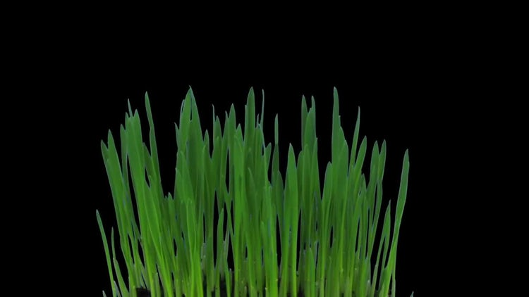 Growing Barley Grass: Stock Video
