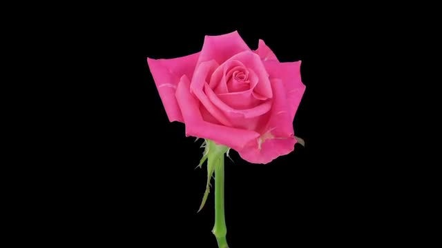 Opening Of Pink Carat Rose: Stock Video