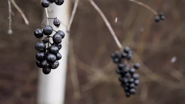 Frozen Berries With Snow Falling: Stock Video