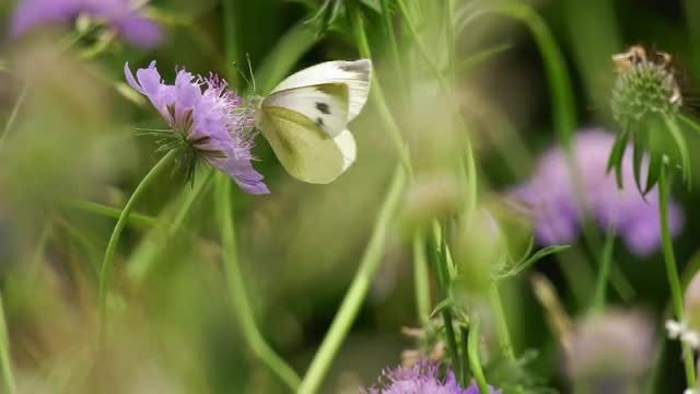 Close Up Of Butterfly On Scabious: Stock Video