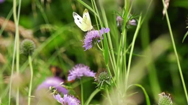 Butterfly On Field Scabious: Stock Video