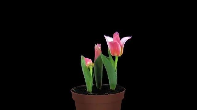 Rotating Tulips In Vase: Stock Video