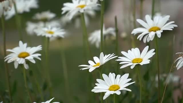 Daisies In The Garden: Stock Video