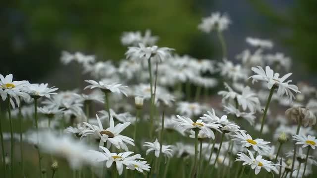 Garden Of Daisies : Stock Video