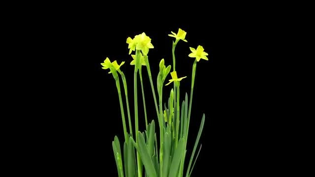 Narcissus Tete-a-Tete Growing And Opening: Stock Video