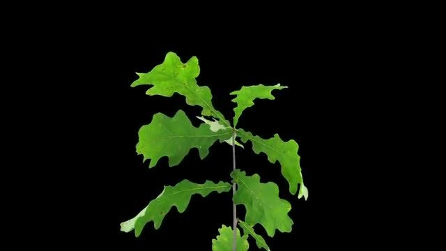 Oak Leaves Dying: Stock Video