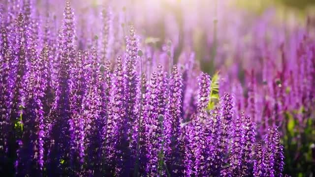 Lavender Field: Stock Video