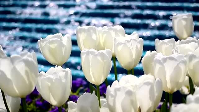 White Tulips And Water Fall: Stock Video