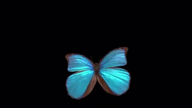 Close Up Blue Butterfly : Stock Motion Graphics