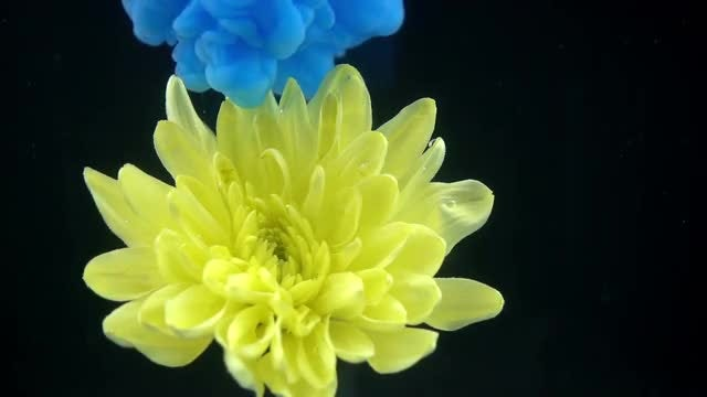Yellow Flower And Blue Paint: Stock Video