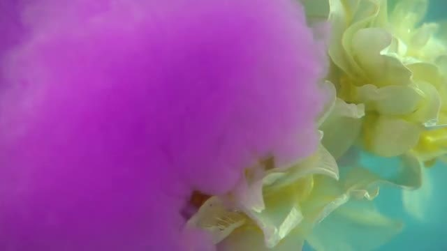 Purple Paint Mist For Flowers: Stock Video