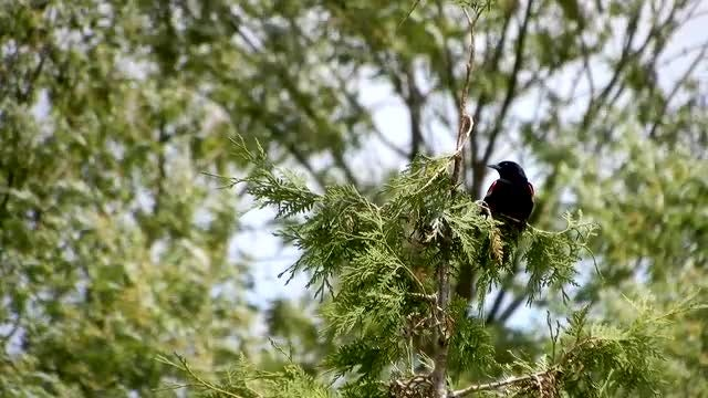 Black Bird Perched On Tree: Stock Video