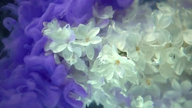 Purple Paint On White Flowers: Stock Video