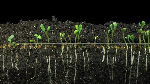 Growing Alfalfa Vegetable Sprouts: Stock Video