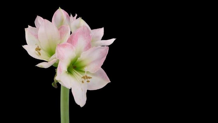 Apple Blossom Amaryllis : Stock Video
