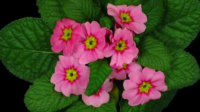 Red Primula Flower: Stock Video