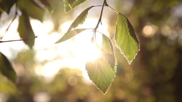 Leaf In The Sun: Stock Video