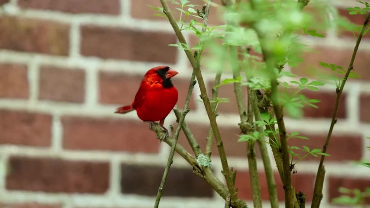 Male Cardinal In Shrubs: Stock Video