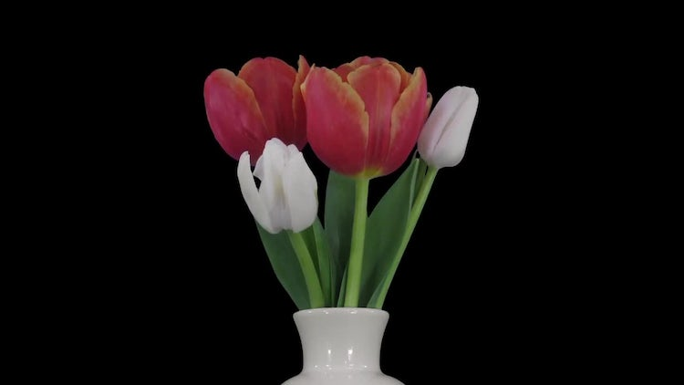 Bouquet Of Multicolored Tulips Opening: Stock Video