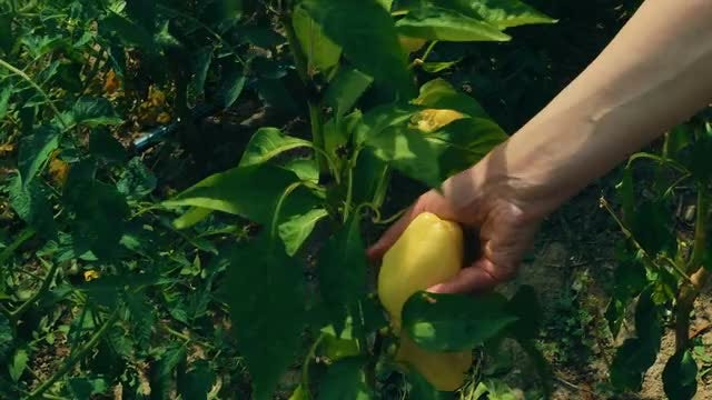 Harvesting Tomatoes And Yellow Peppers: Stock Video