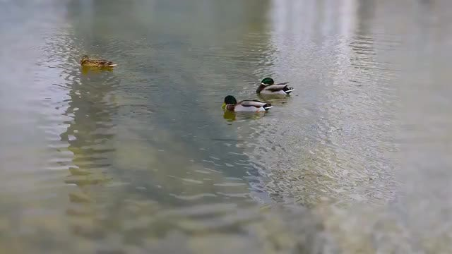 Ducks Swimming On A Pond: Stock Video
