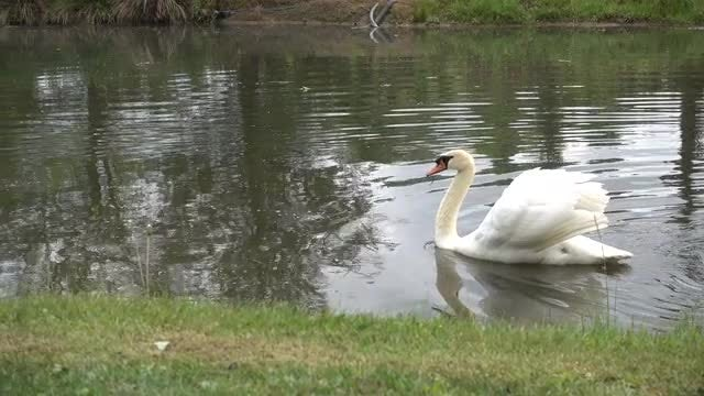 White Swan Swimming On Lake: Stock Video