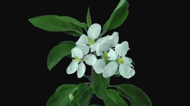 Apple Blossoms Blooming: Stock Video