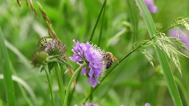 Honey Bee On Purple Flower: Stock Video