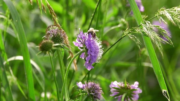 Honeybee Gathering Nectar: Stock Video