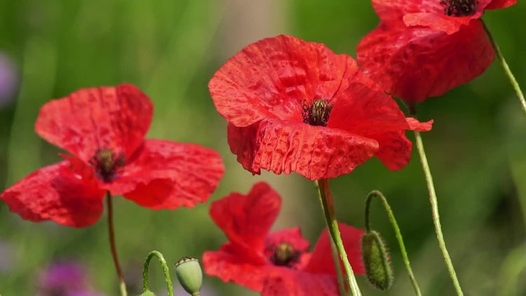 Poppies Swaying In The Wind: Stock Video