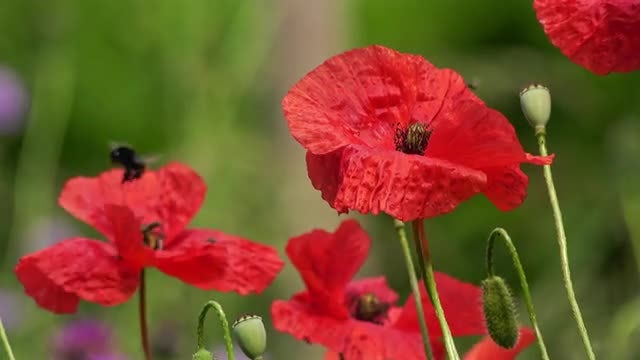 Bumblebees Feeding On Red Poppies: Stock Video