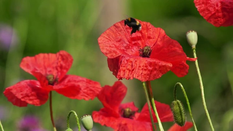 Bumblebees On Poppies: Stock Video