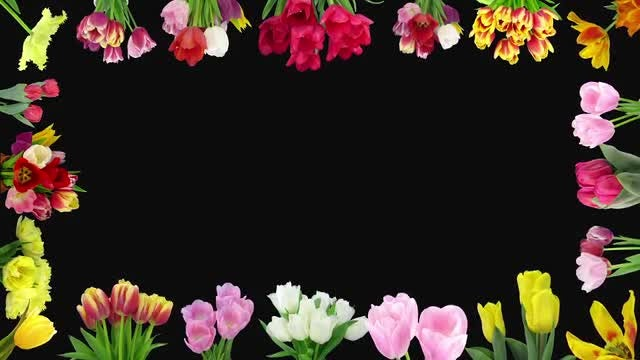 Montage Of Colorful Tulips Opening: Stock Video