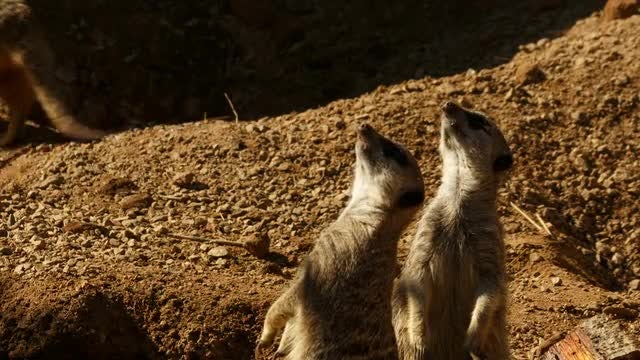 Meerkats Surveying The Sky: Stock Video