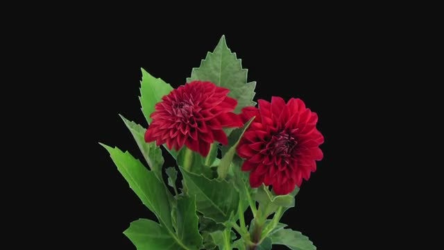 Two Red Dahlia Flowers: Stock Video